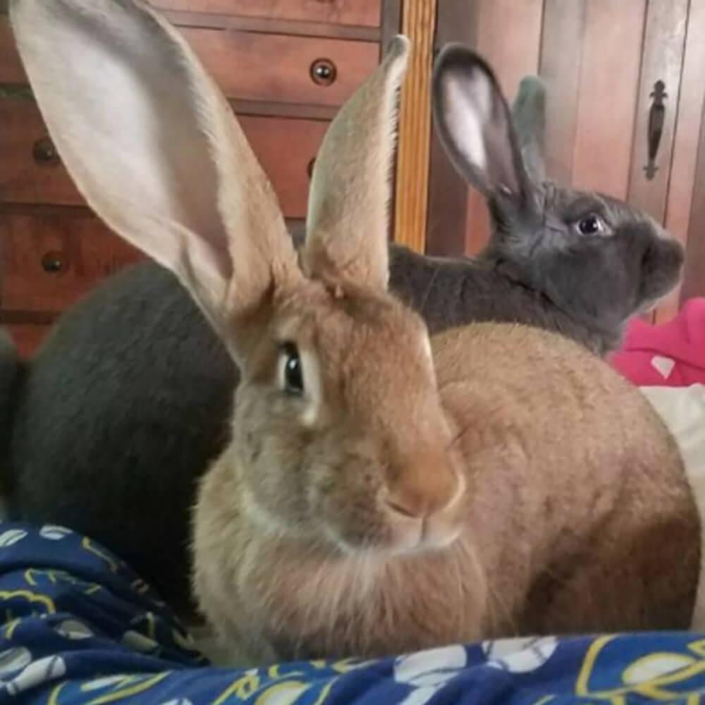 giant rabbit couple 3