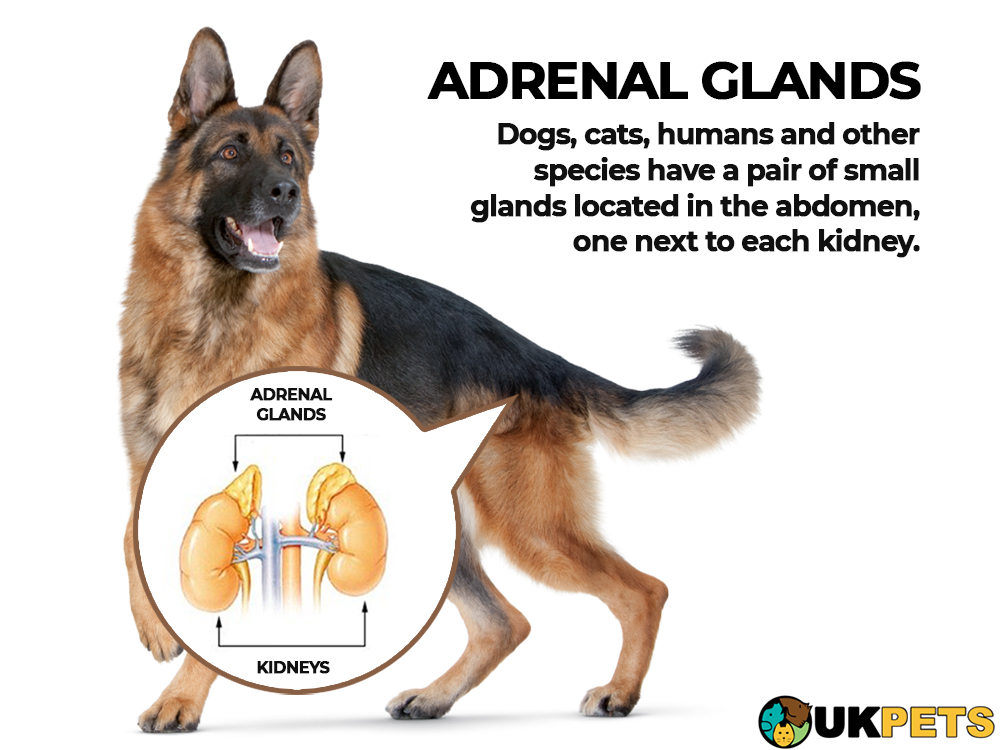 addisons disease in dogs