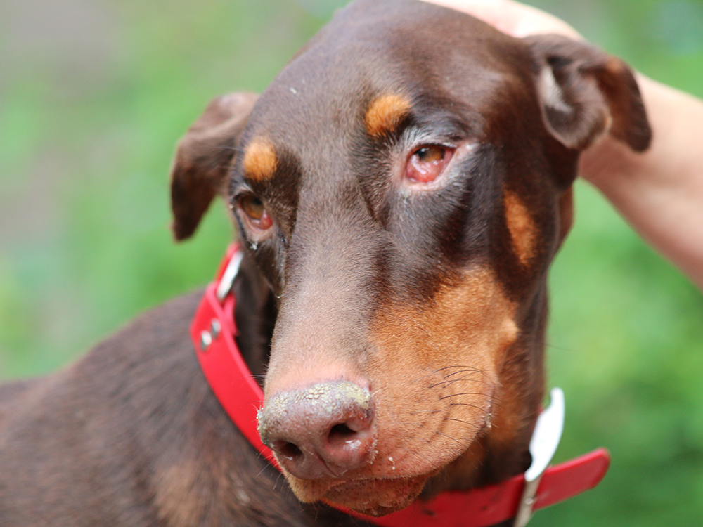 Conjunctivitis in Dogs 1