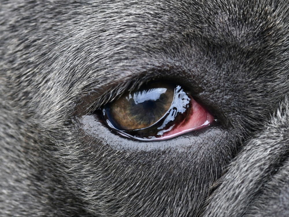 Conjunctivitis in Dogs 3