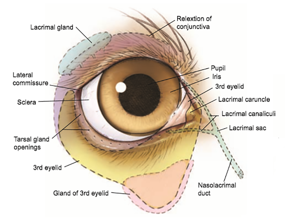 Conjunctivitis in Dogs 4