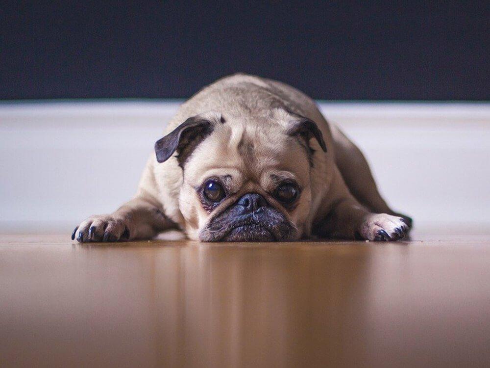 Gastroenteritis in Dogs 2
