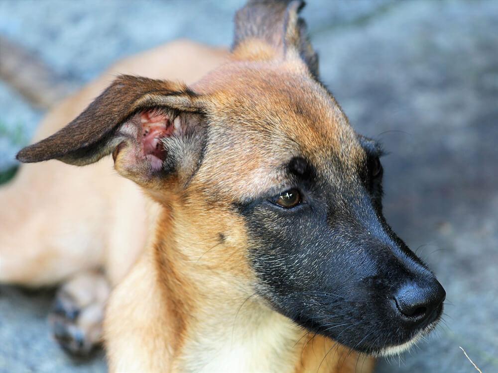 Gastroenteritis in Dogs6