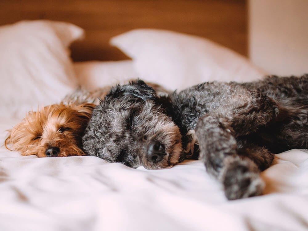 Heart Murmur in Dogs 1