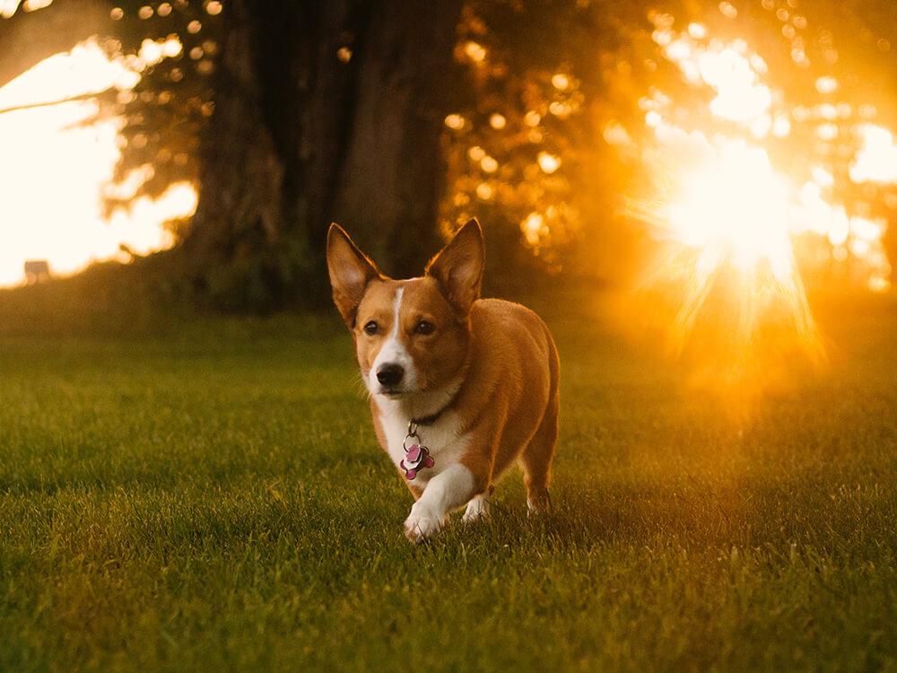 Heatstroke in Dogs 1