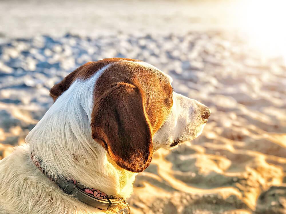 Heatstroke in Dogs 5