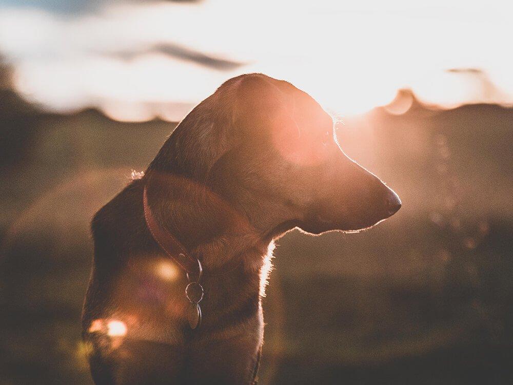Heatstroke in Dogs 8