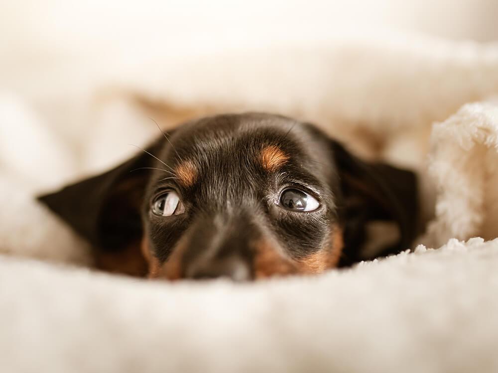 Pancreatitis in Dogs 2