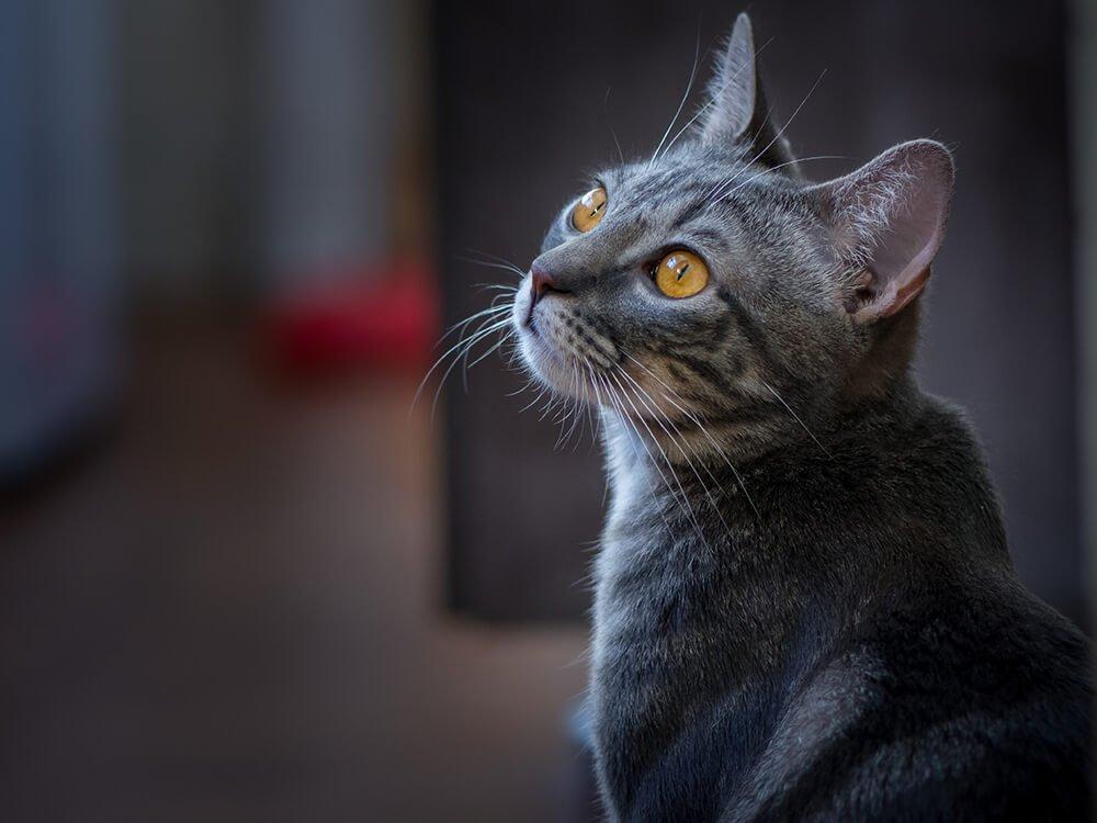 cat conjunctivitis treatment