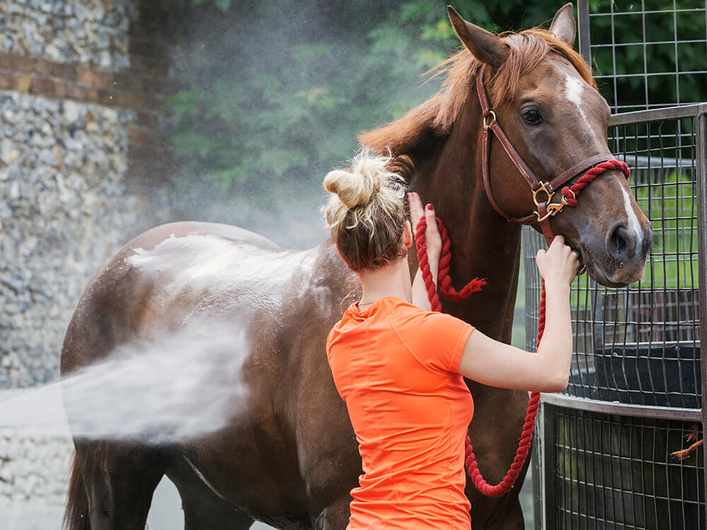 grooming-a-bay-thoroughbred-horse