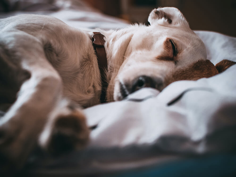 addisons disease in dogs 1