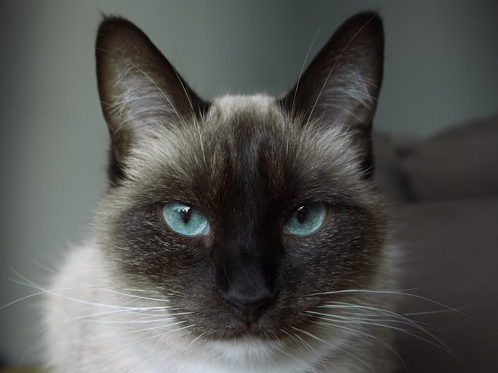 natural remedies for conjunctivitis in cats