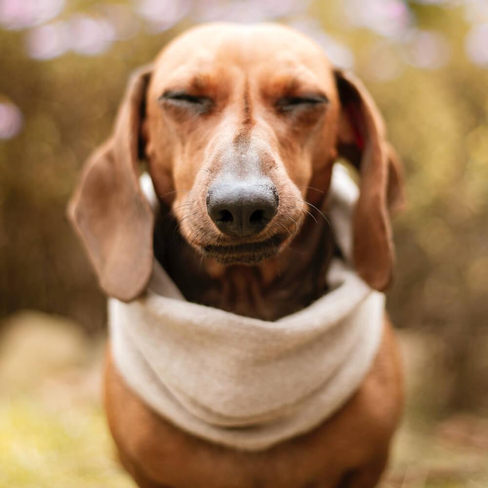 reverse sneezing in dogs 4