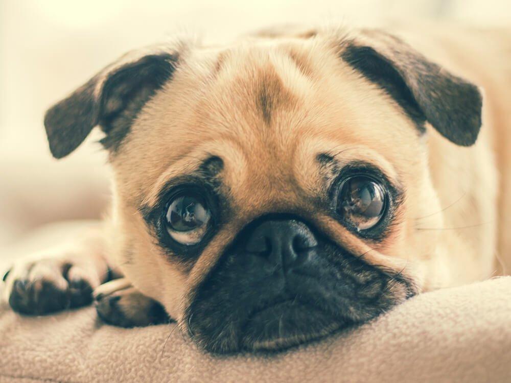reverse sneezing in dogs 7