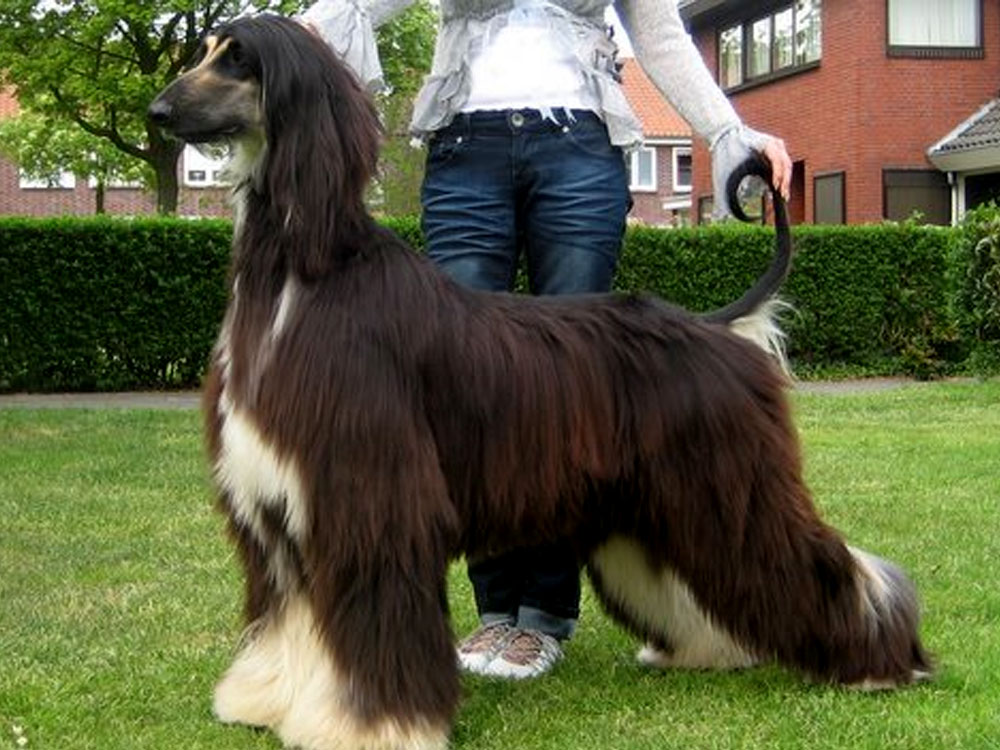 most expensive dog - Afghan Hound