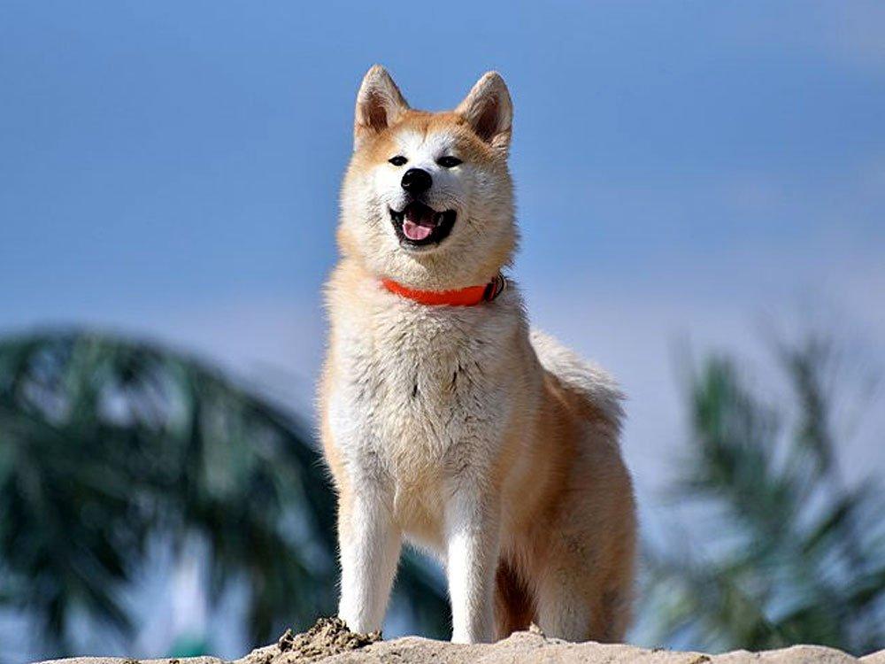 most expensive dog - Akita