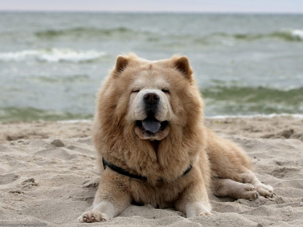 most expensive dog - Chow Chow