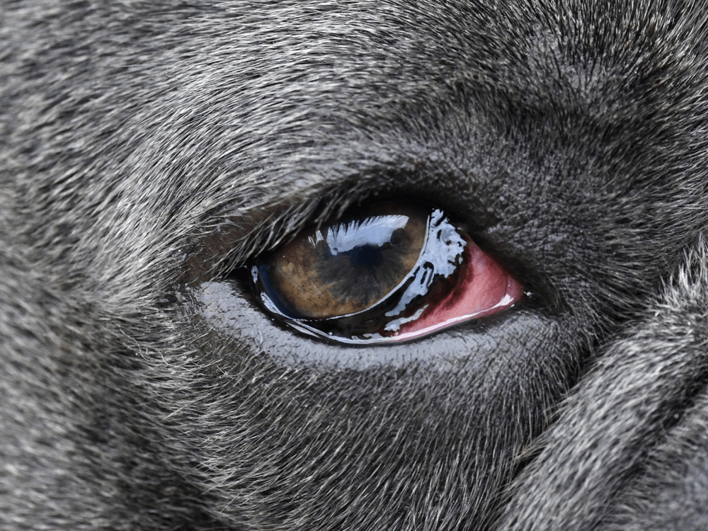 conjunctivitis in dogs 3