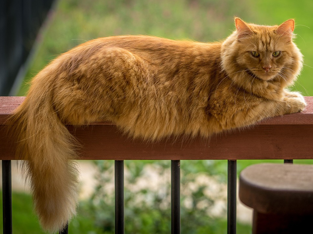 12 Impressive Domestic Big Cat Breeds
