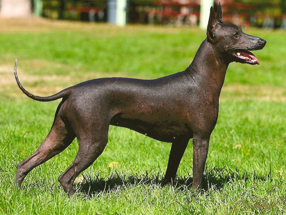 what is the ugliest breed of dog 6