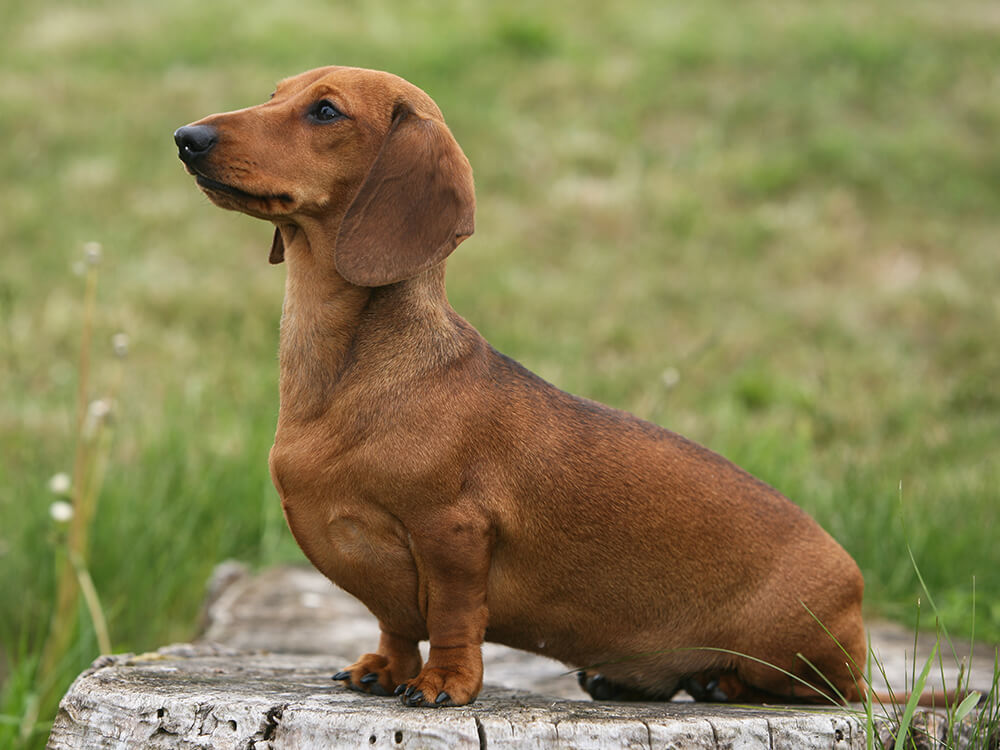 most expensive dog - Miniature Dachshund