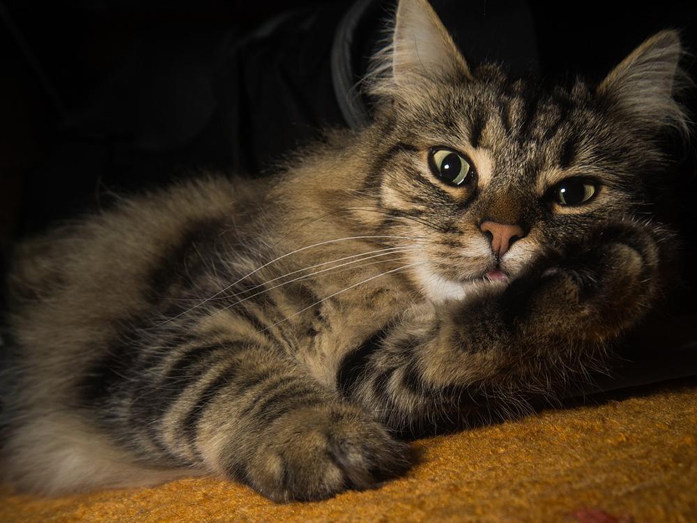 norwegian fForest cat