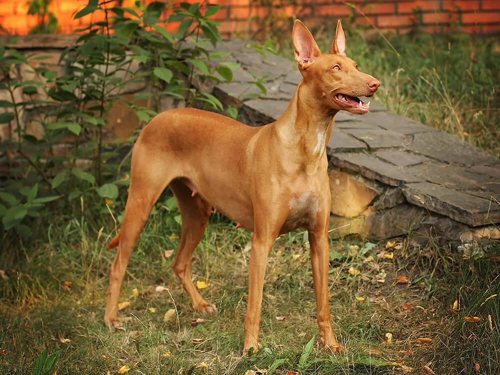 most expensive dog - Pharaoh Hound