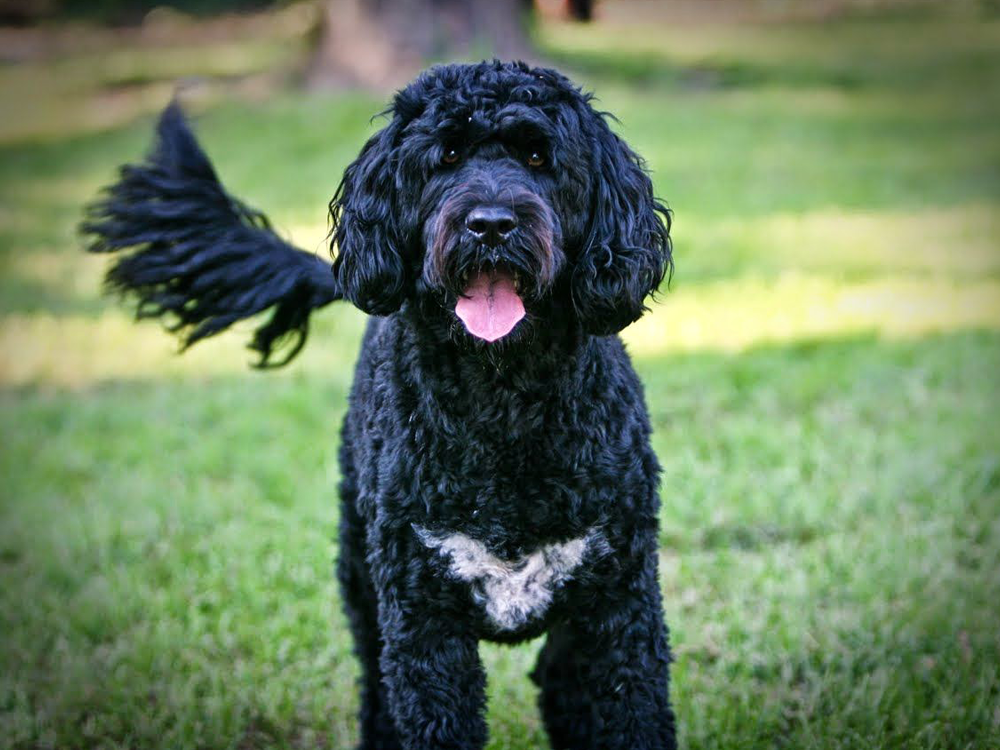 most expensive dog - Portuguese Water Dog
