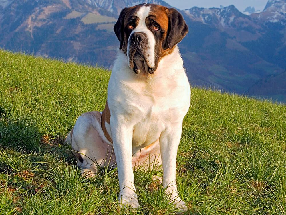 most expensive dog - Saint Bernard