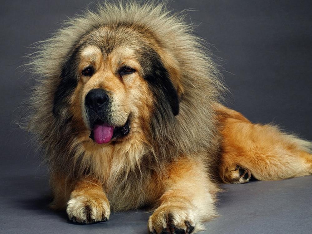 most expensive dog - Tibetan Mastiff