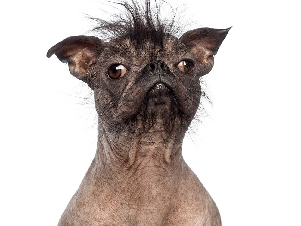 what is the ugliest breed of dog