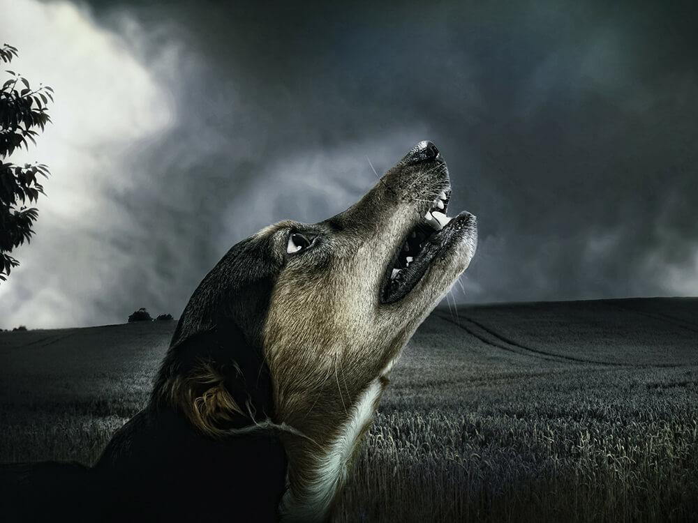 dog howling 5