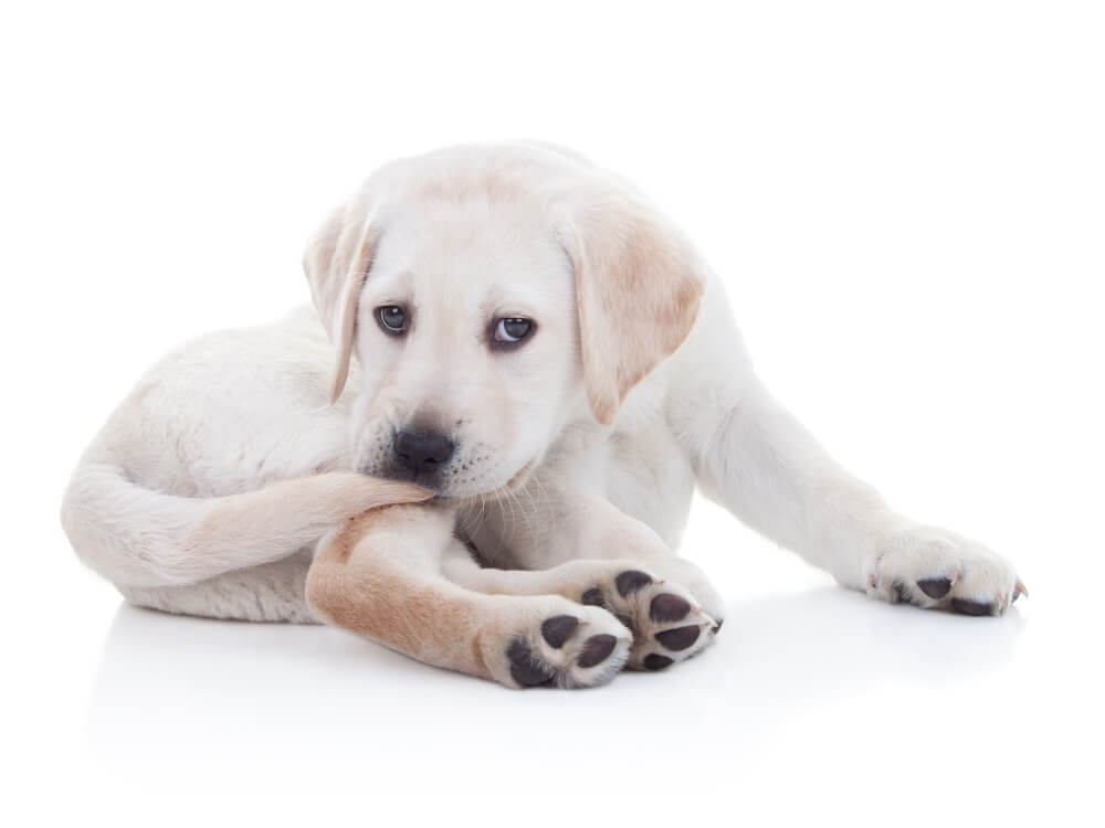 why do dogs chase their tails 4