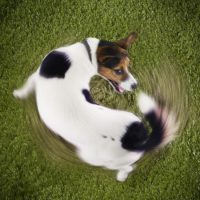 Why Do Dogs Chase Their Tails? Top 6 Causes of This Behaviour