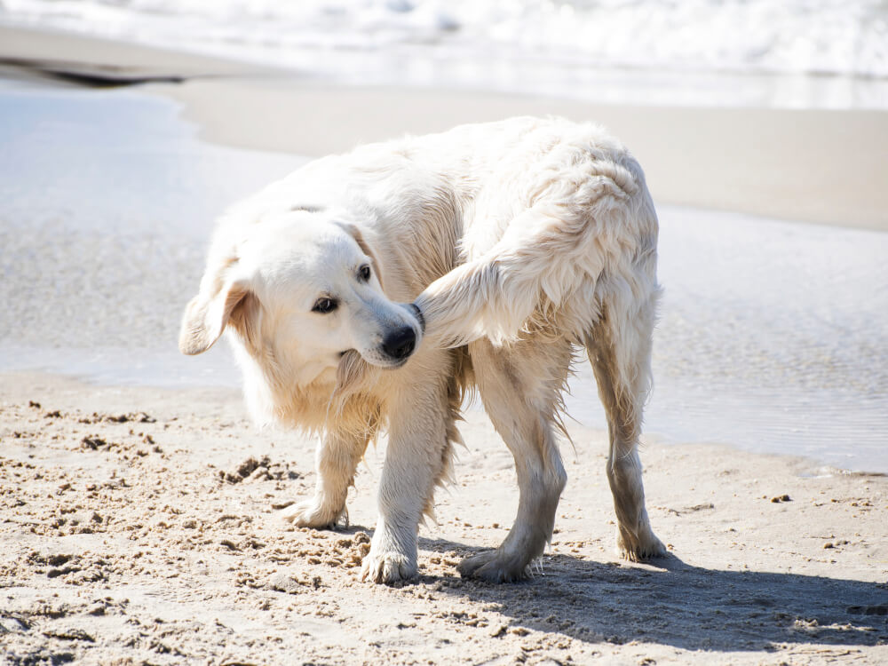 why do dogs chase their tails 1