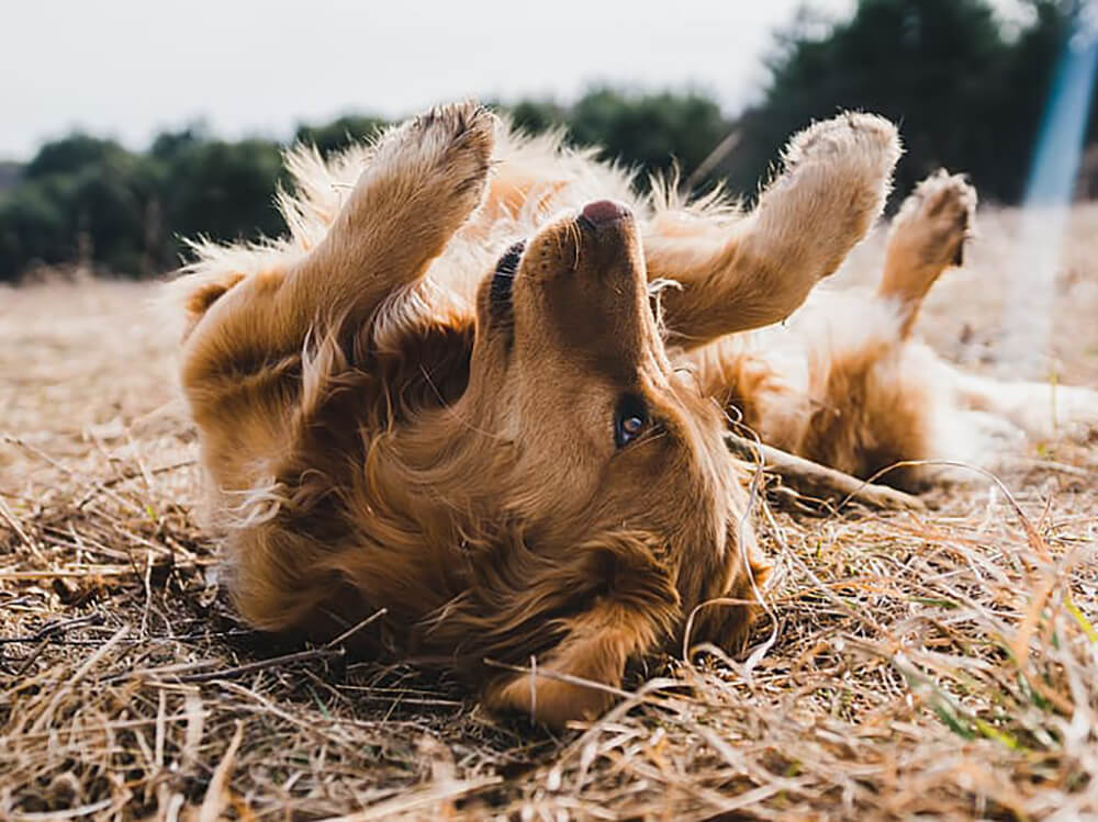 why do dogs roll in poop - 1