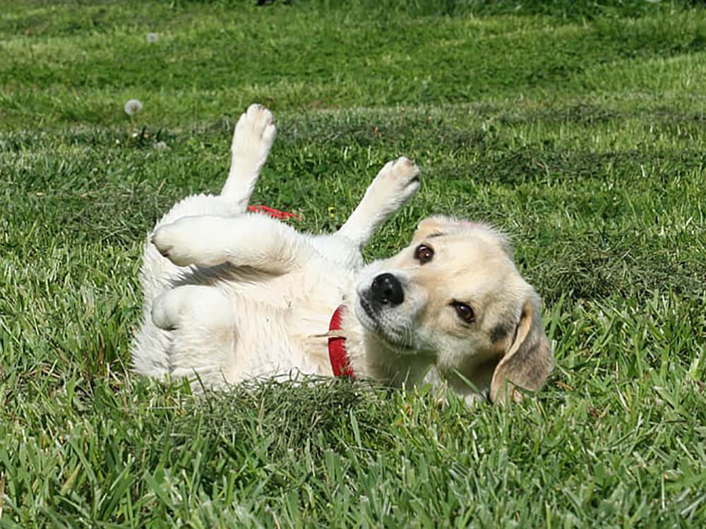 why do dogs roll in poop - 2