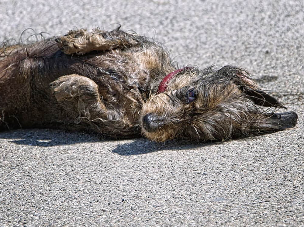 why do dogs roll in poop - 3