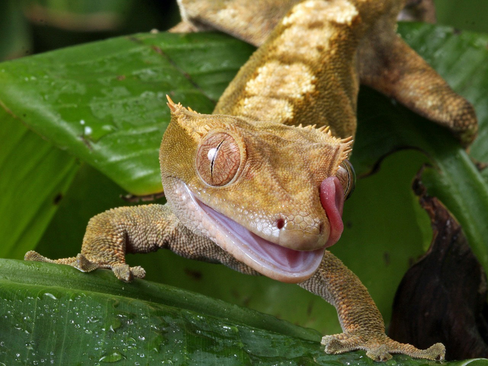 Crested Gecko 11
