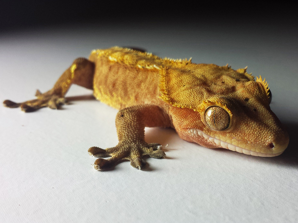 Crested Gecko 12