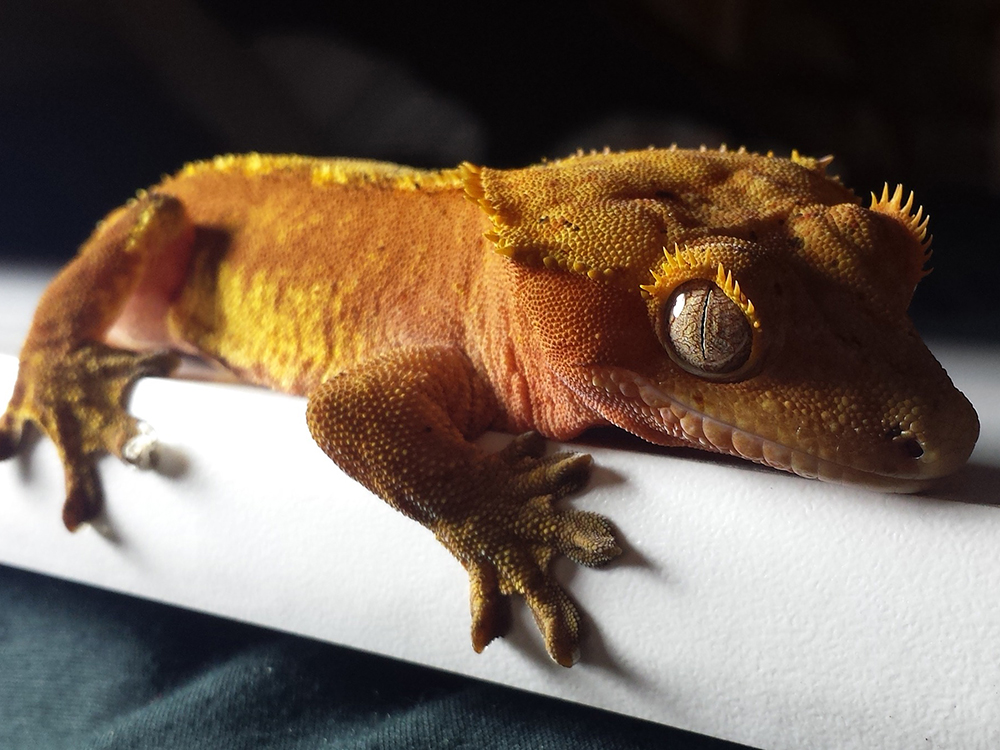 Crested Gecko 15