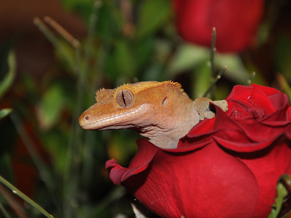 Crested Gecko 14