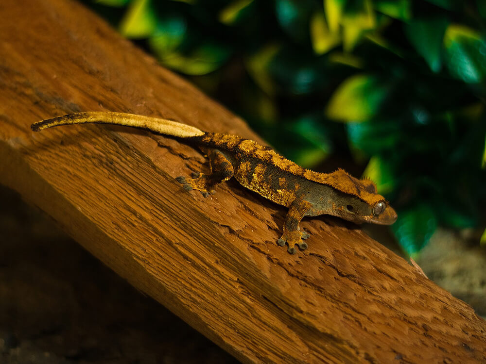 Crested Gecko 5