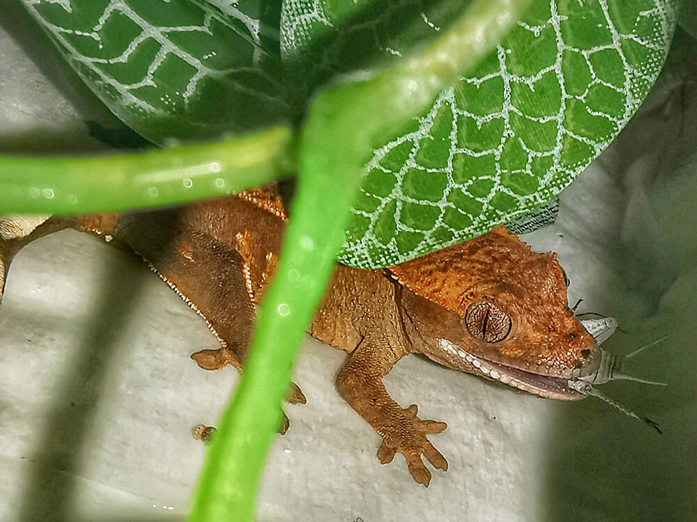 Crested Gecko 7