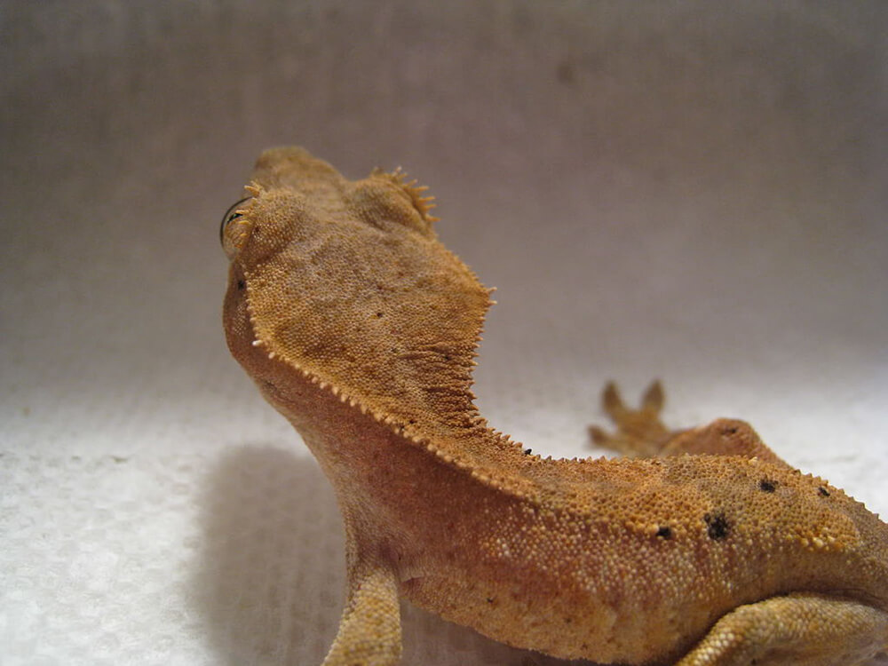Crested Gecko 8