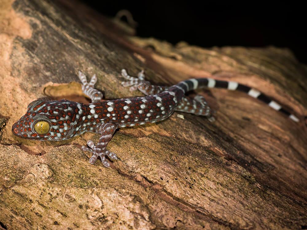 Tokay gecko 1