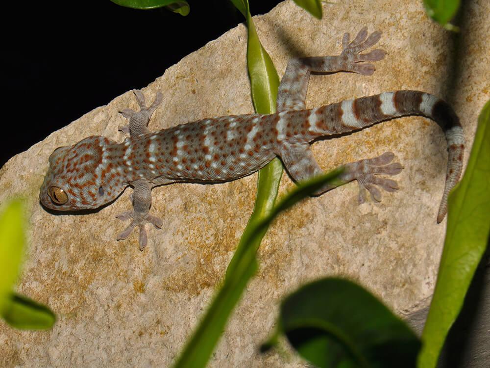 Tokay gecko 10