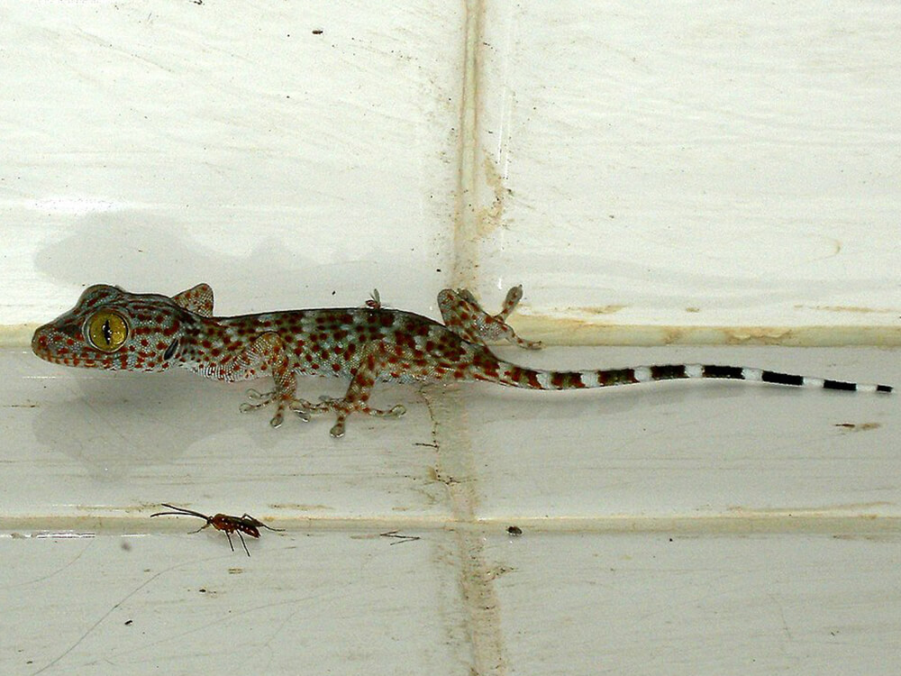 Tokay gecko 11