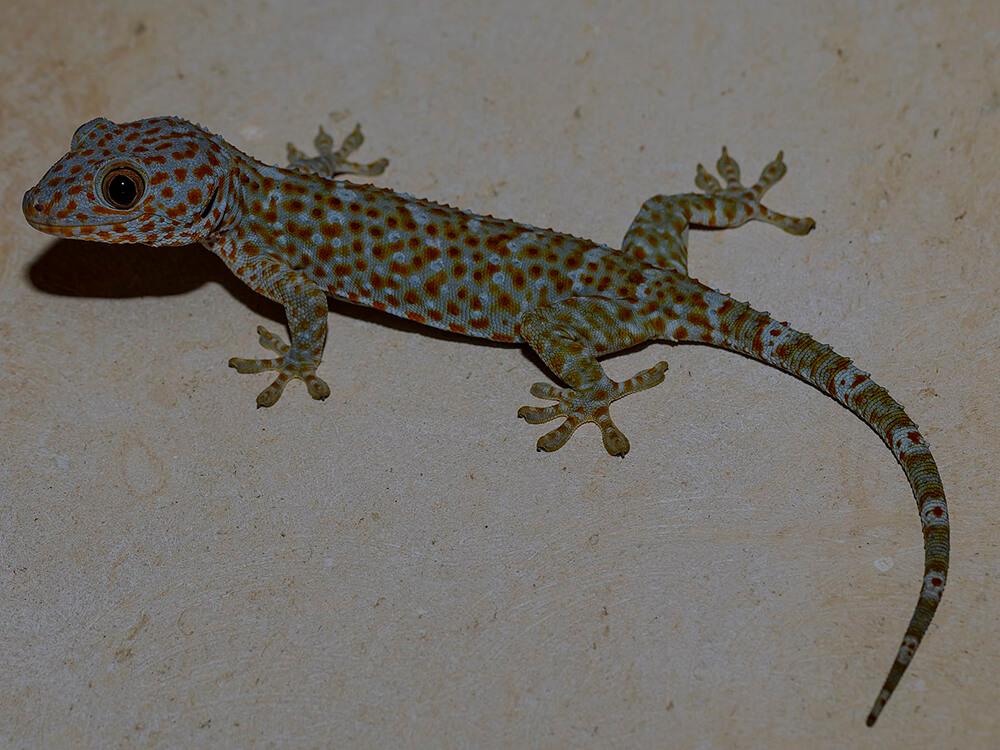 Tokay gecko 12