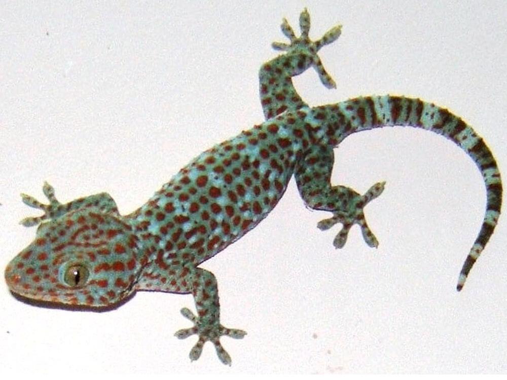 Tokay gecko 2